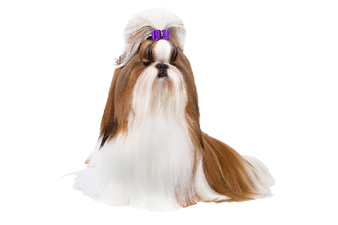 Shih Tzu Bows Fun Fancy Shih Tzu Dog Bows Show Bows Barrettes